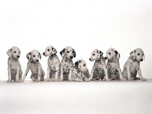 dalmatian-puppies