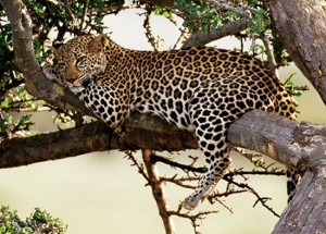 leopard-picture