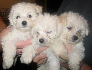 maltipoo-puppies