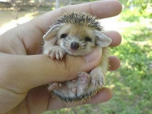 baby-hedgehog-3